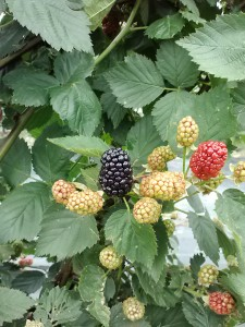 At the blackberries patch.