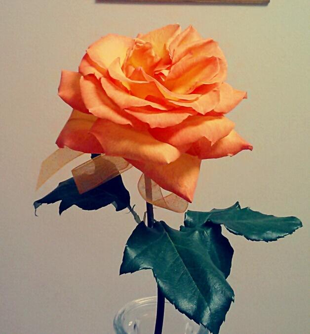 Hybrid Rose - LT's 18 roses